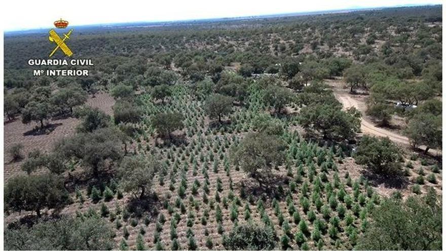 desmantelada-la-mayor-plantación-de-cannabis-en-extremadura-con-22-000-plantas