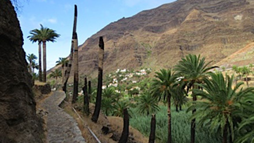 Troncos de palmeras muertas en Valle Gran Rey