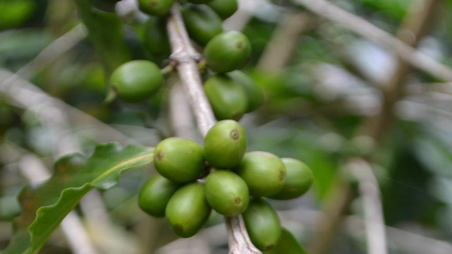Planta de café de Cuetzalan- Foto: Noyolcont