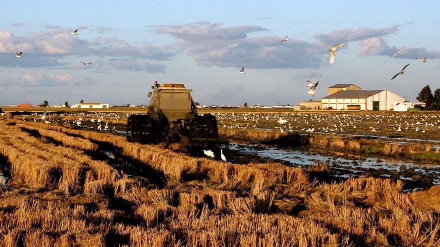 Un tractor fanguea en el arrozal. / Maribel Olivares