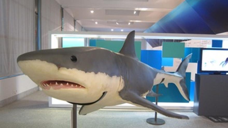 Reproducción A Tamaño Real Del Tiburón Blanco En La Exposición De Fundación CRAM