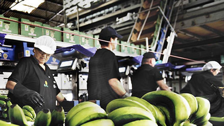 Preparación del plátano para su comercialización, en un empaquetado de Canarias