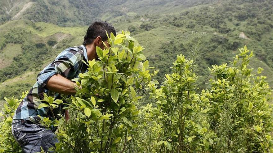 El Gobierno y las FARC inician un plan piloto de sustitución de cultivos ilícitos