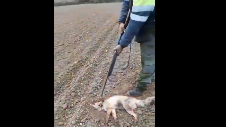 Captura de pantalla del vídeo de maltrato al zorro que se hizo viral