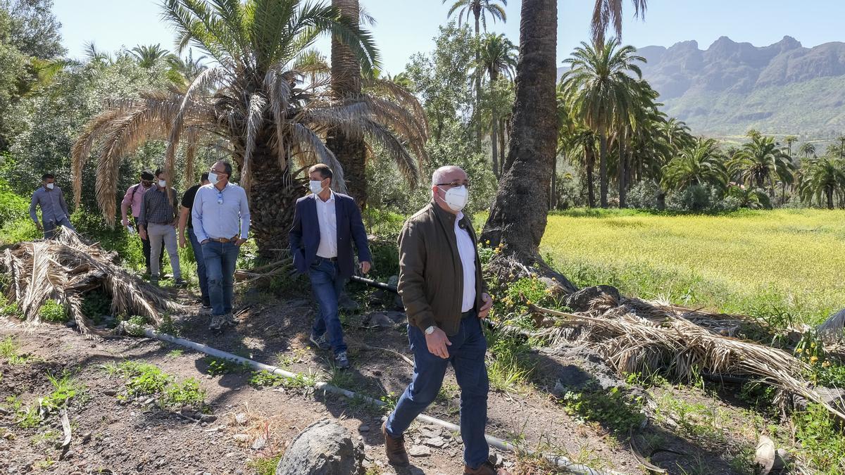 Antonio Morales visita el palmeral de Ingenio de Santa Lucía para comprobar el avance de los trabajos