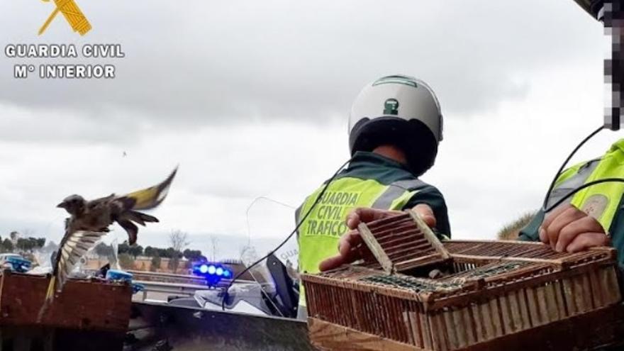Agentes de la Guardia Civil, con las jaulas de jilgueros interceptadas