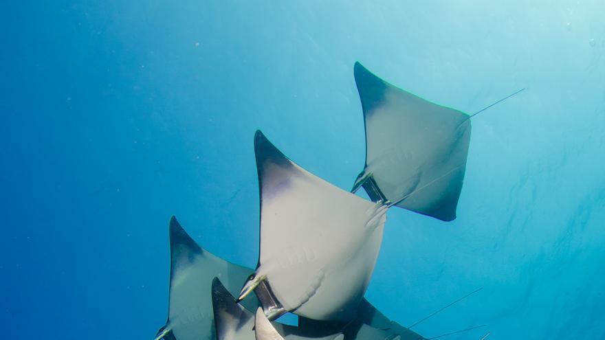 Un grupo de mantas nadando