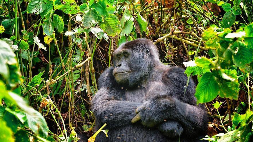 Uno de los gorilas de Bwindi. Rod Waddington (CC)