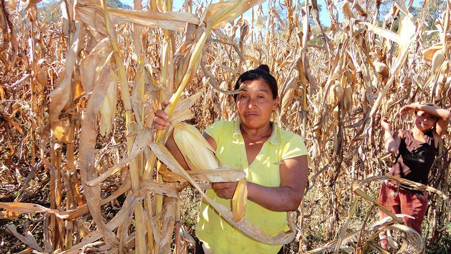 Exilda en una cosecha de maíz para su comercialización