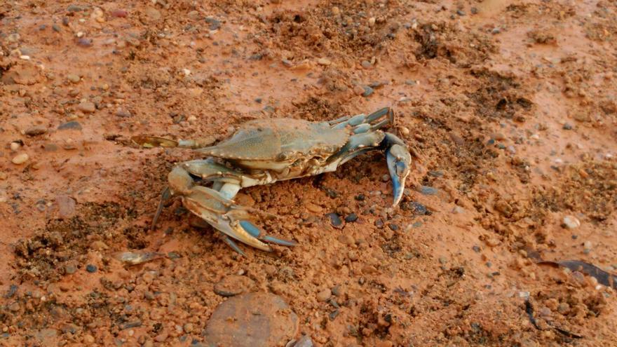 Capturan nuevos ejemplares de cangrejos azules, ahora, en Mazarrón / Foto: ANSE