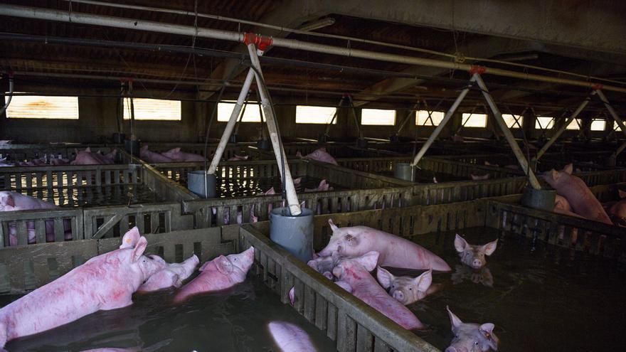En la granja de Villafranca de Ebro murió un centenar de cerdos