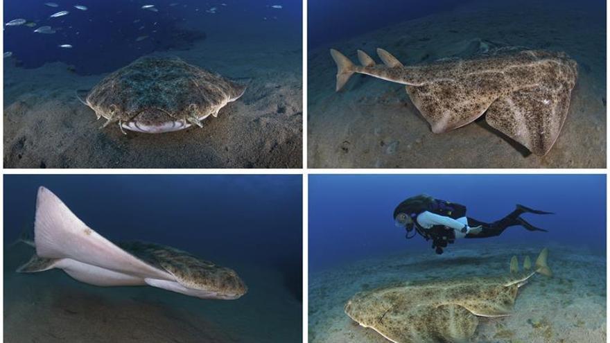 Fotografías facilitadas por el club de buceo Oceanos de Fuego, de un tiburón ángel en Lanzarote
