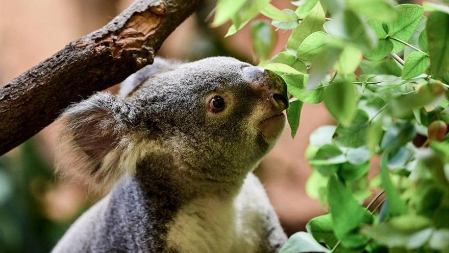 Unos 2.000 koalas han muerto durante los incendios forestales en Australia