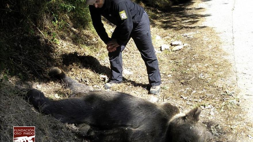 El oso hallado por unos turistas en Muniellos (Asturias) murió de un disparo