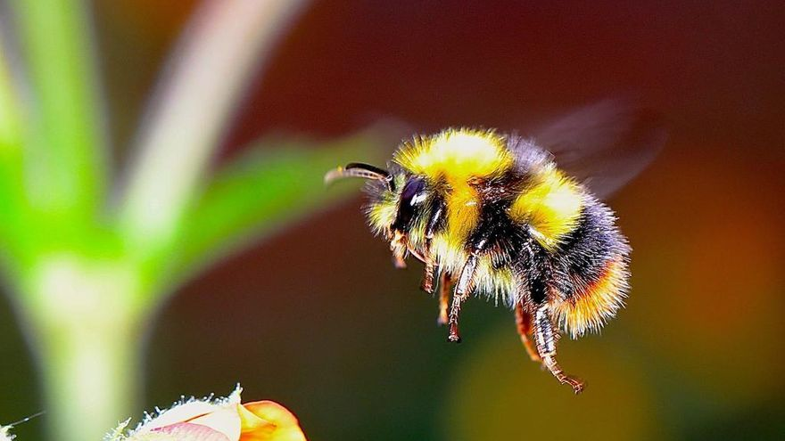 Una nueva amenaza para los abejorros nativos