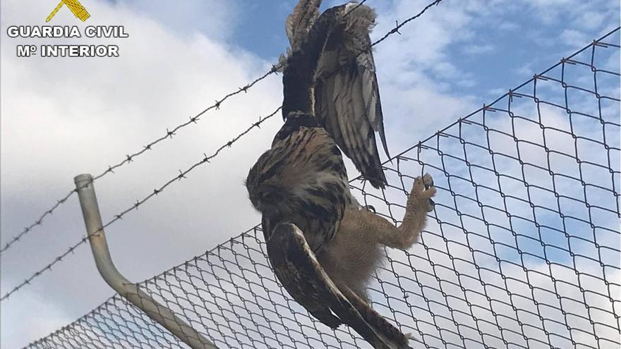 El ejemplar de buho real atrapado en la alambrada