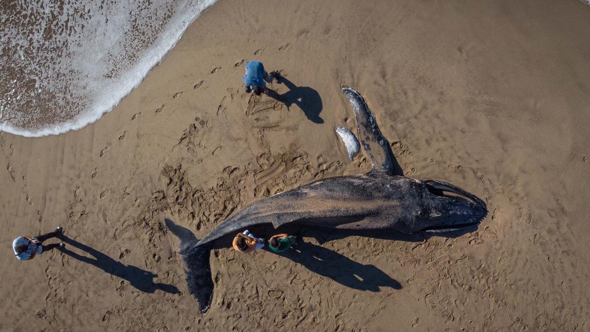 Un ejemplar joven de una ballena jorobada apareció muerta hoy en una playa del sur de la ciudad de Mar del Plata, y los investigadores analizaban las causas del fallecimiento.