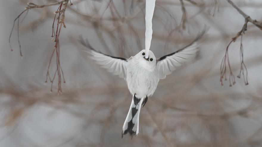'Bebida fría'. Categoría: Comportamiento: Aves