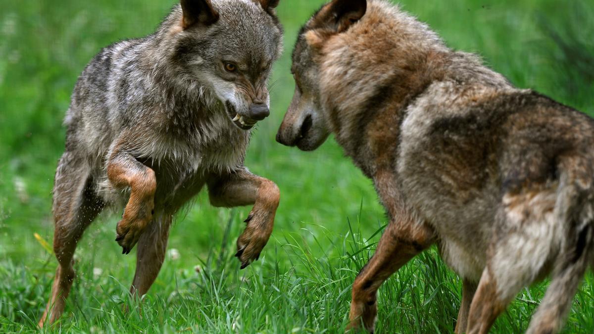 Imagen de archivo de dos lobos ibéricos.