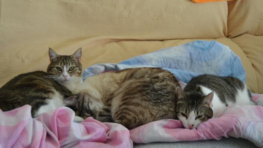Nadia, en adopción, junto a otros dos gatos.