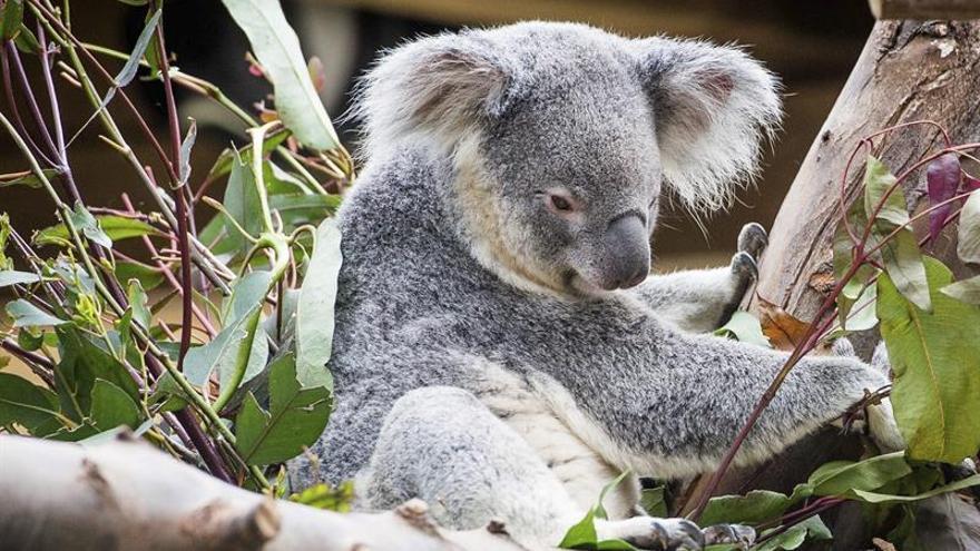 Los koalas desaparecen a un ritmo más rápido que la población mundial de animales