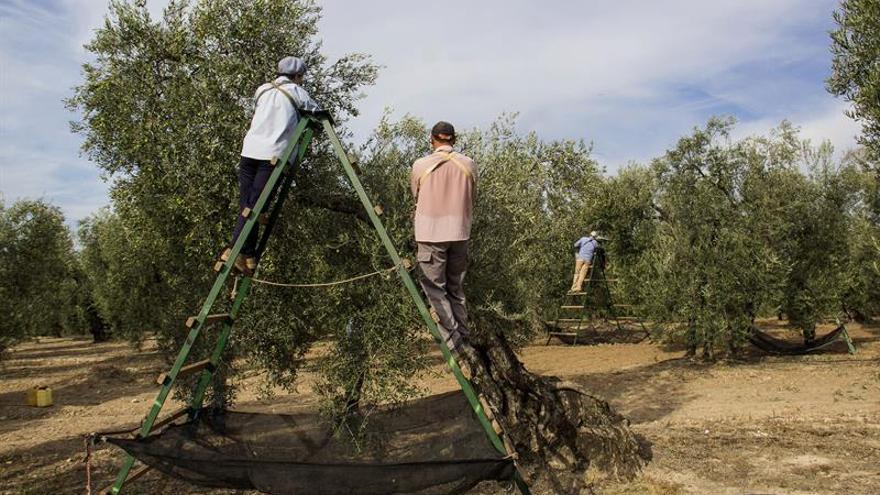 El olivar tradicional se abre a los ojos del turista para ver nacer al aceite