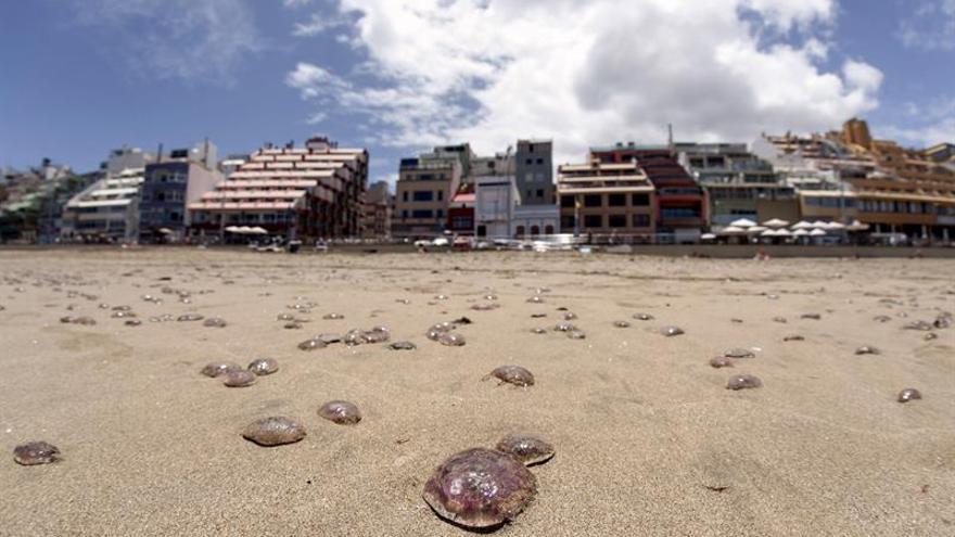 Las Palmas de Gran Canaria ha activado en sus playas el protocolo de prevención de aguavivas ante la llegada masiva de estos organismos la costa