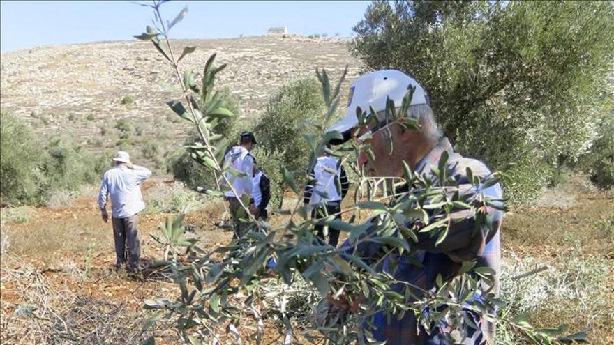 La ardua tarea de recoger aceitunas bajo la ocupación