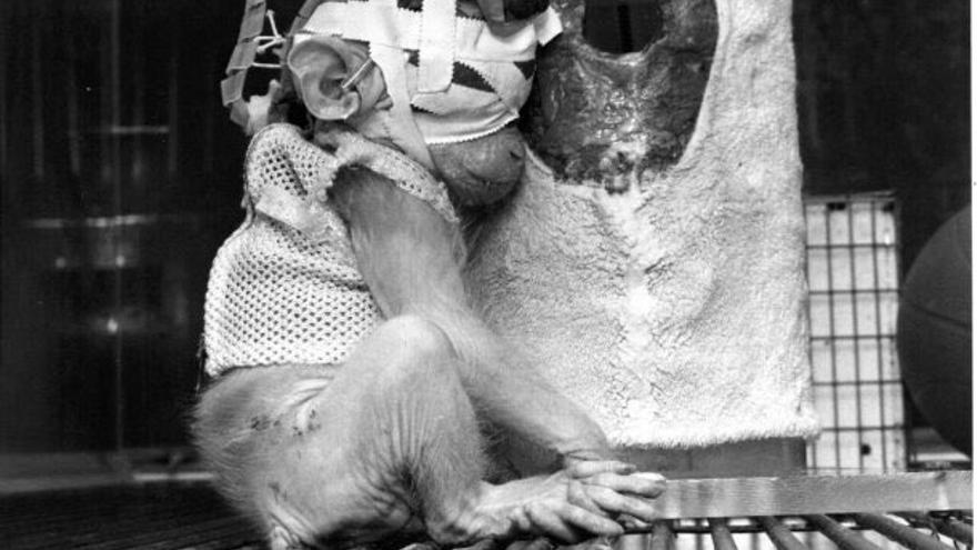 Britches, bebé macaco liberado el 20 de abril de 1985 de un laboratorio de psicología de la Universidad de California en Riverside, Estados Unidos. Le habían separado de su madre al nacer y cosido los párpados para estudiar los efectos de la ceguera.