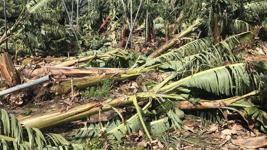 Platanera en el suelo, en una explotación palmera, tras el paso de Emma
