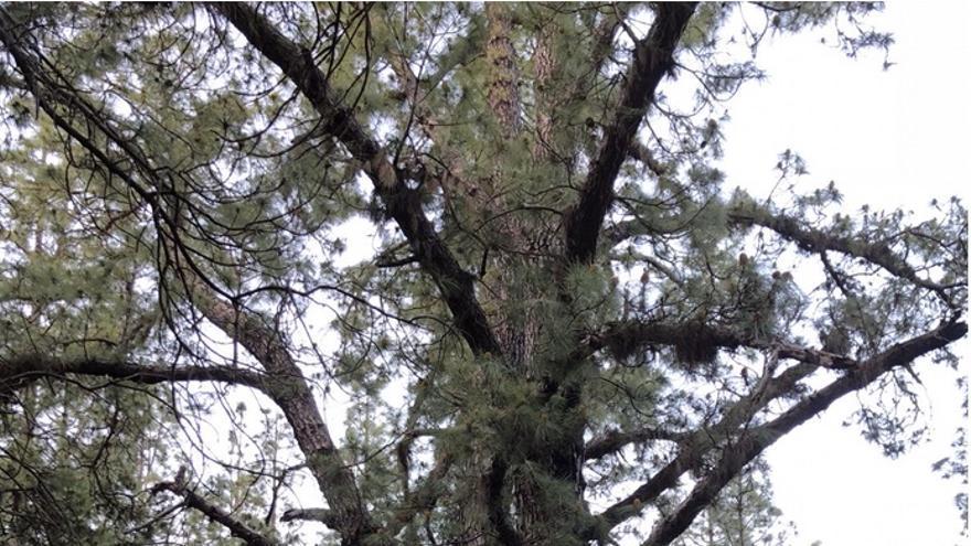 Aspecto actual del pino sagrado junto a la Fuente del Pino.