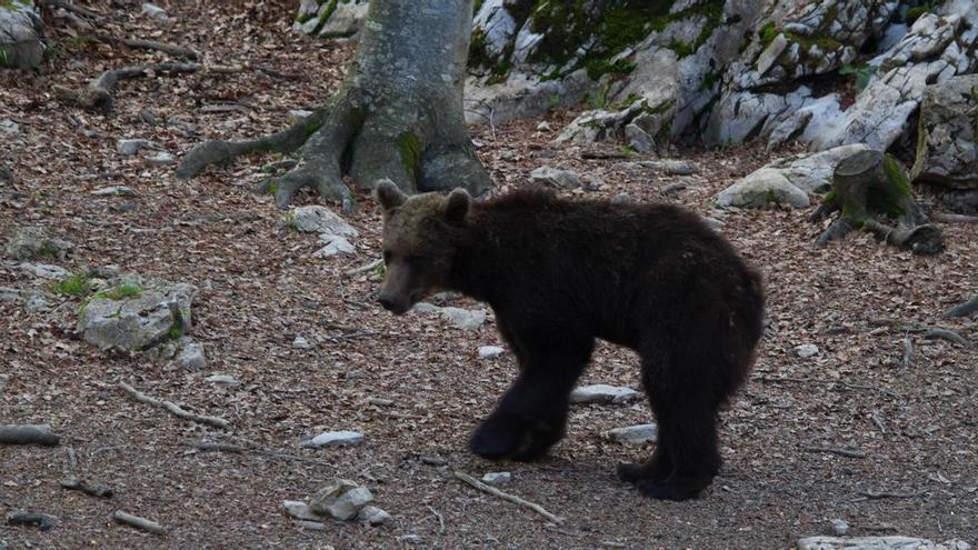 El oso Goiat fue reintroducido desde Eslovenia en 2016