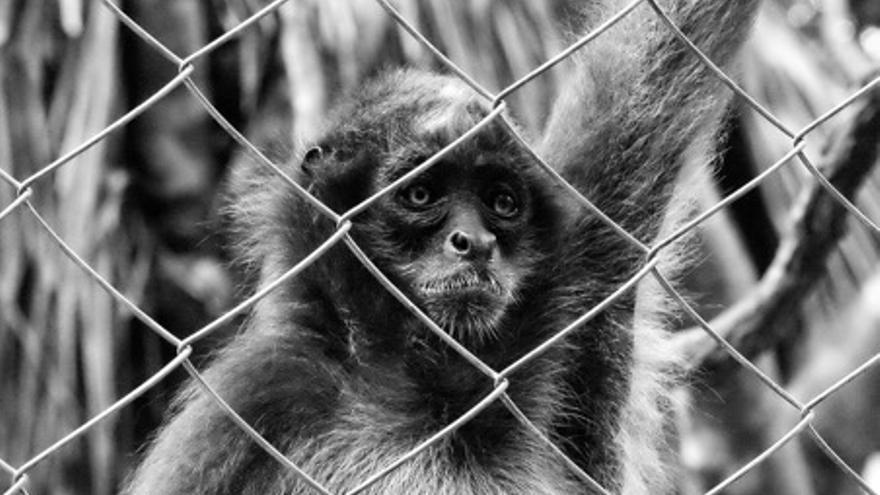 Mona rescatada del tráfico ilegal de especies en Colombia