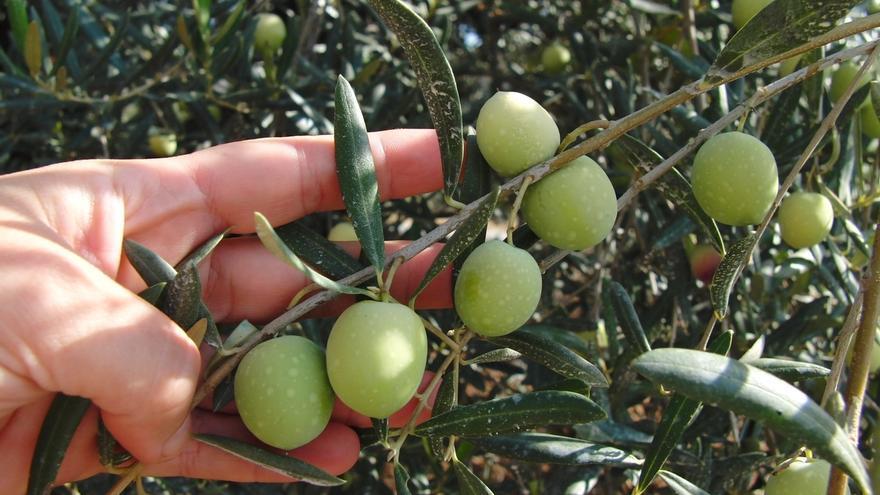 """Asaja señala que la cosecha de aceituna de verdeo será """"igual o ligeramente superior"""" a la campaña anterior"""