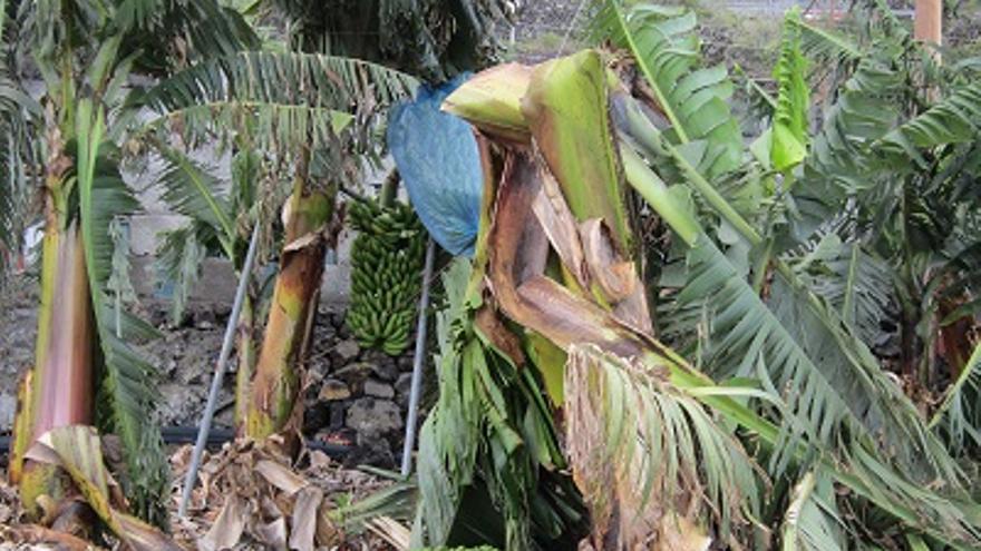 Imagen de archivo de cultivo de plátanos afectado por el viento.