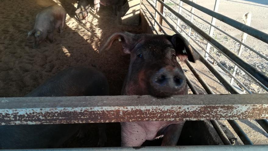 Granja de cerdos en Hellín (Albacete)