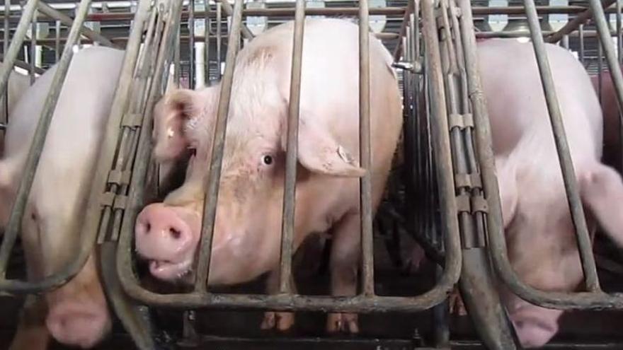 Jaulas de gestación de cerdos en Virginia, EE UU. Wikimedia