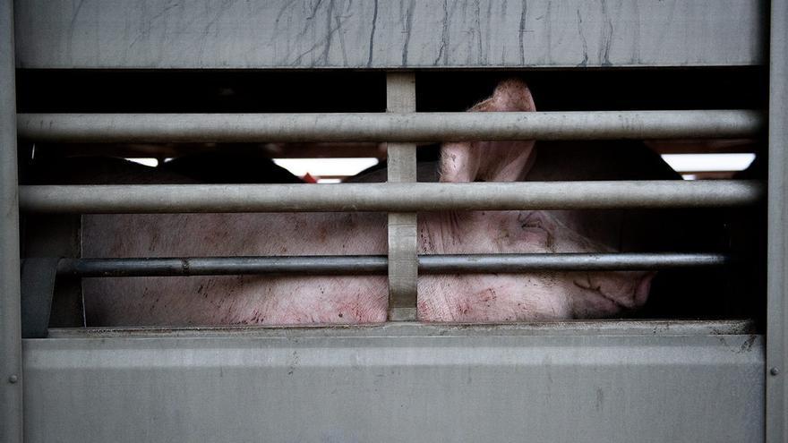 Camión de cerdos a punto de partir al matadero.