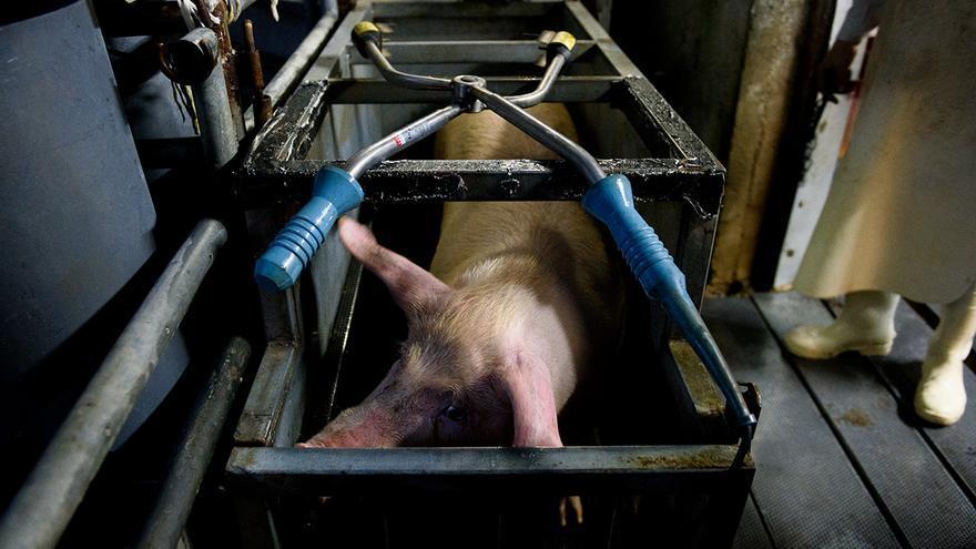 Cajón de aturdimiento en un matadero de cerdos.