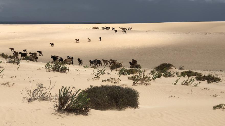 Cabras sobre las arenas de las Dunas de Corralejo, una de las estampas más auténticas de Fuerteventura.