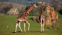 Recinto de las jirafas en el Parque de la Naturaleza de Cabárceno. | NACHO ROMERO
