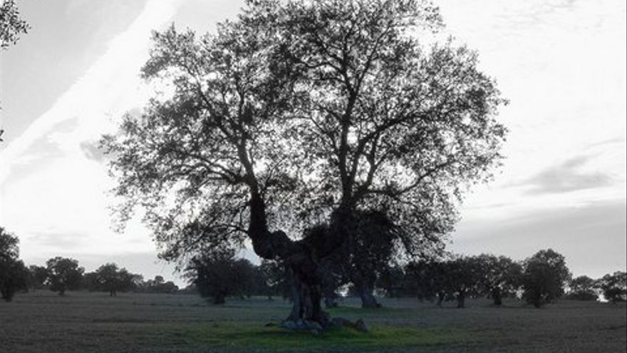La Encina de El Lote (Hinojosa del Duque) es la más longeva de la provincia cordobesa con 800 años de vida. (Foto. Sandoval Monje)