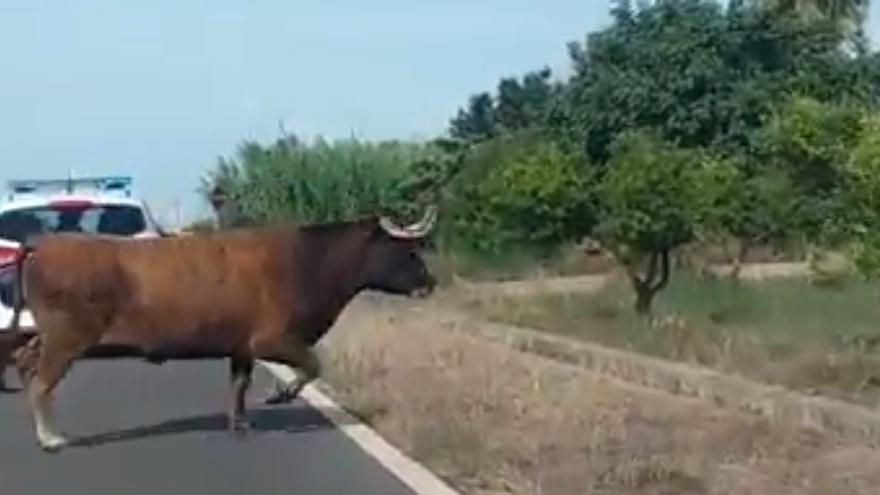 Una vaca perdida durante las fiestas patronales de Burriana (Castellón). Imagen: Las Provincias