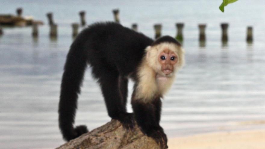 Mono de cara blanca en Red Frog. Caltraip
