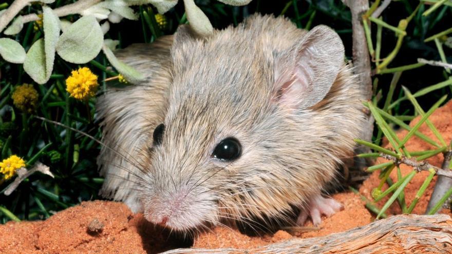 Encuentran un ratón australiano que se creía extinto hace más de 150 años