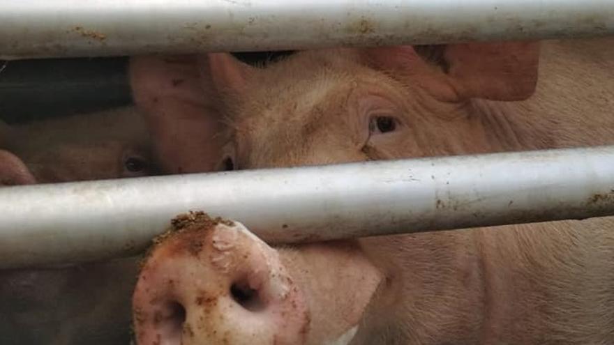Un cerdo en el camión que le conduce al matadero