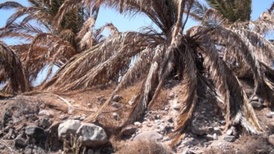 El PSC denuncia el estado de las palmeras en la GC-1.