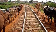 Animales caminan al borde las vías de un tren que atraviesa Kenia.