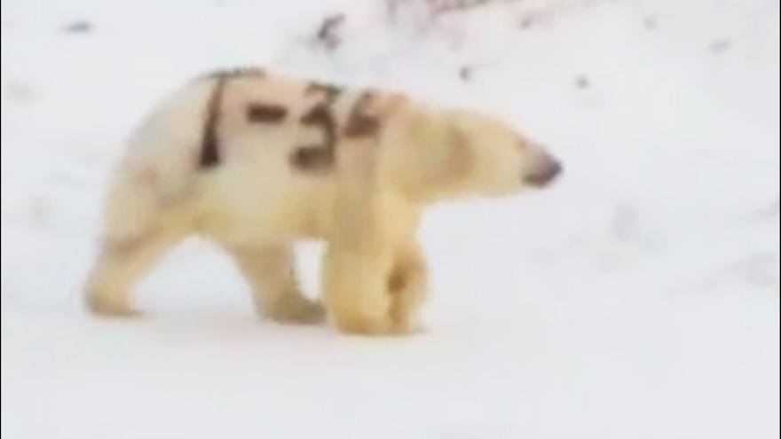 Captura del vídeo del oso polar divisado con la pintada de 'T-34' en su costado