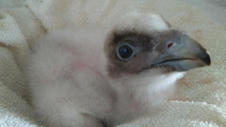 Logran el nacimiento asistido de un pollo de quebrantahuesos
